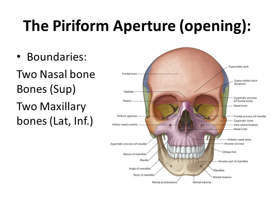 The Piriform Aperture (opening):