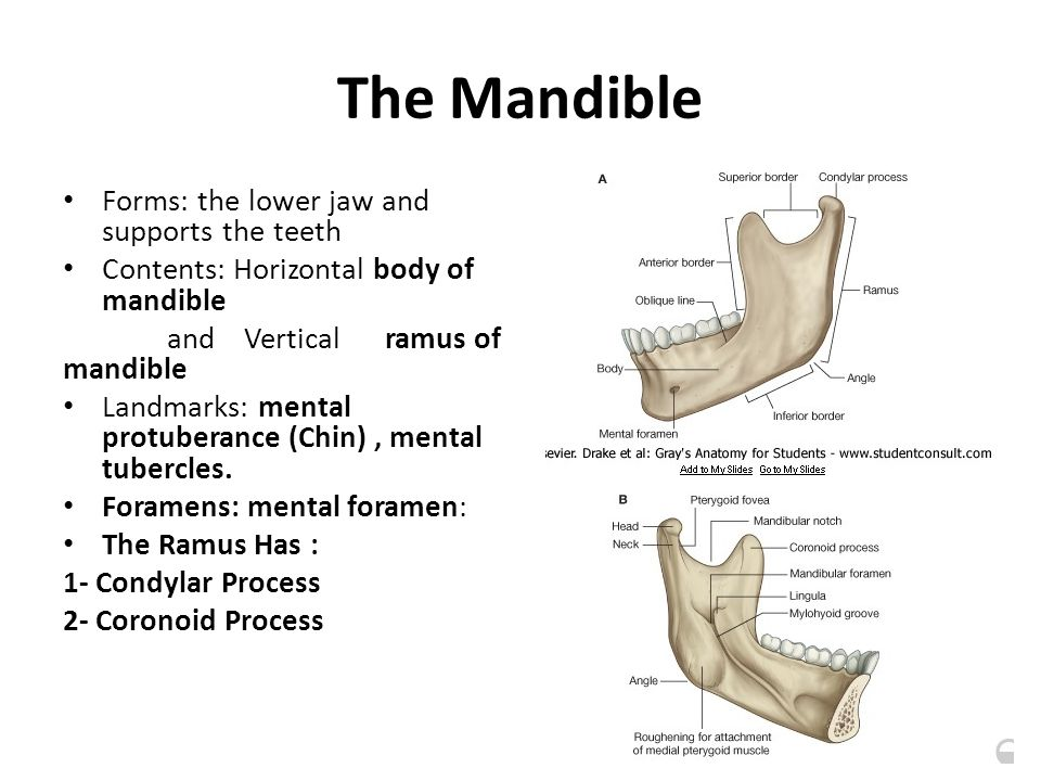 The Mandible Forms: the lower jaw and supports the teeth