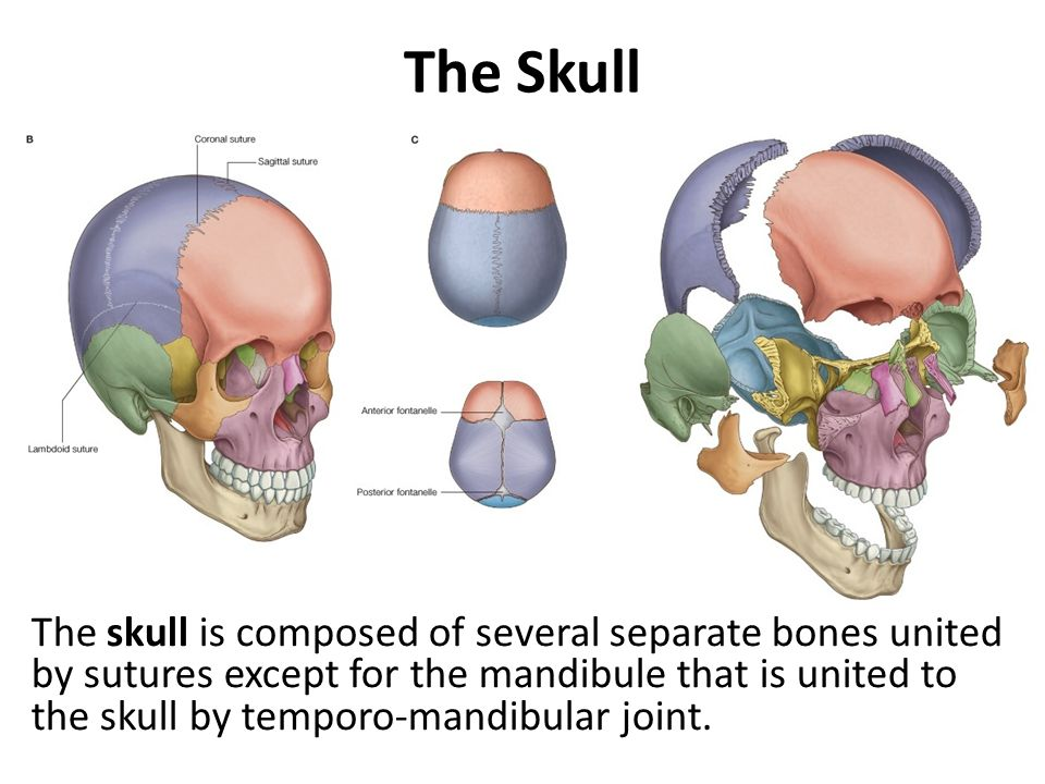 The Skull The Skull (Cranium):