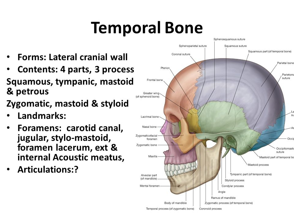 Temporal Bone Forms: Lateral cranial wall Contents: 4 parts, 3 process