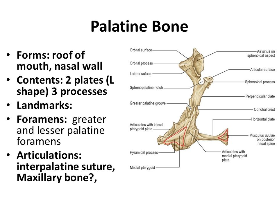 Palatine Bone Forms: roof of mouth, nasal wall