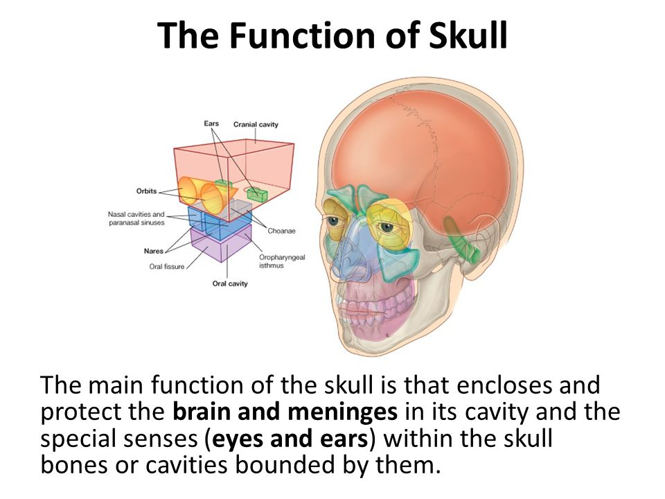The Function of Skull
