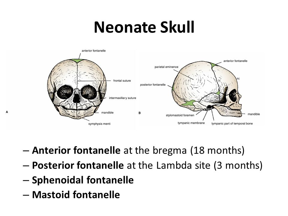 Neonate Skull Anterior fontanelle at the bregma (18 months)