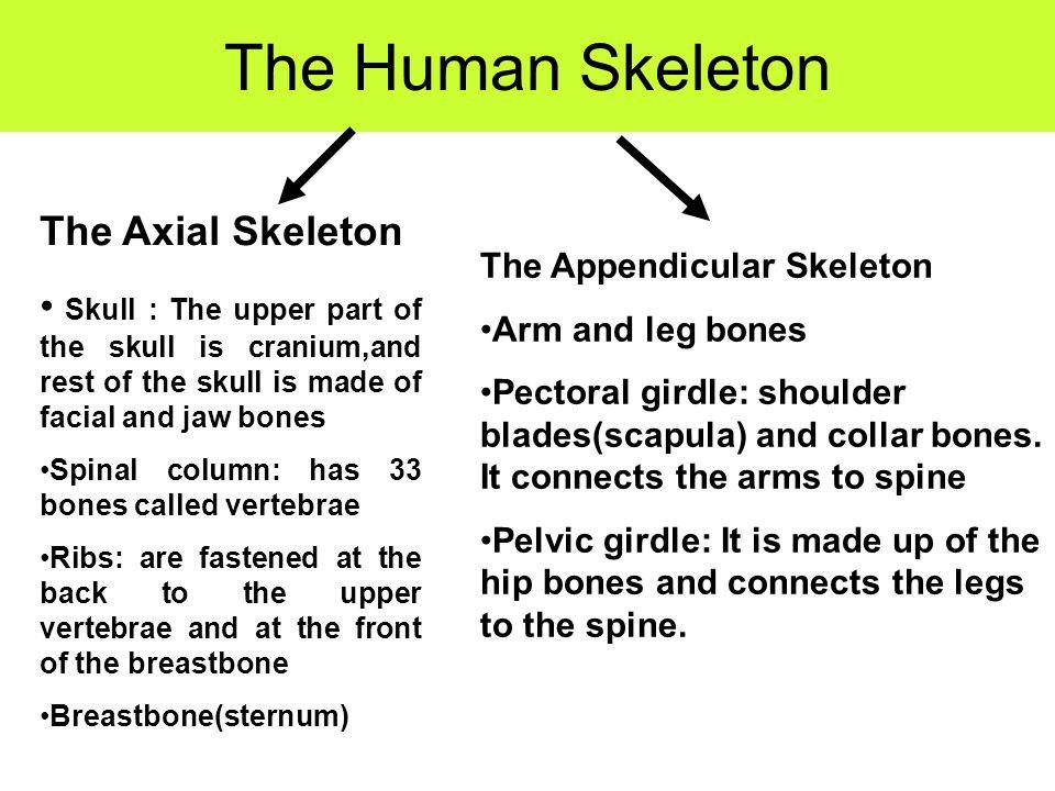 The Human Skeleton The Axial Skeleton