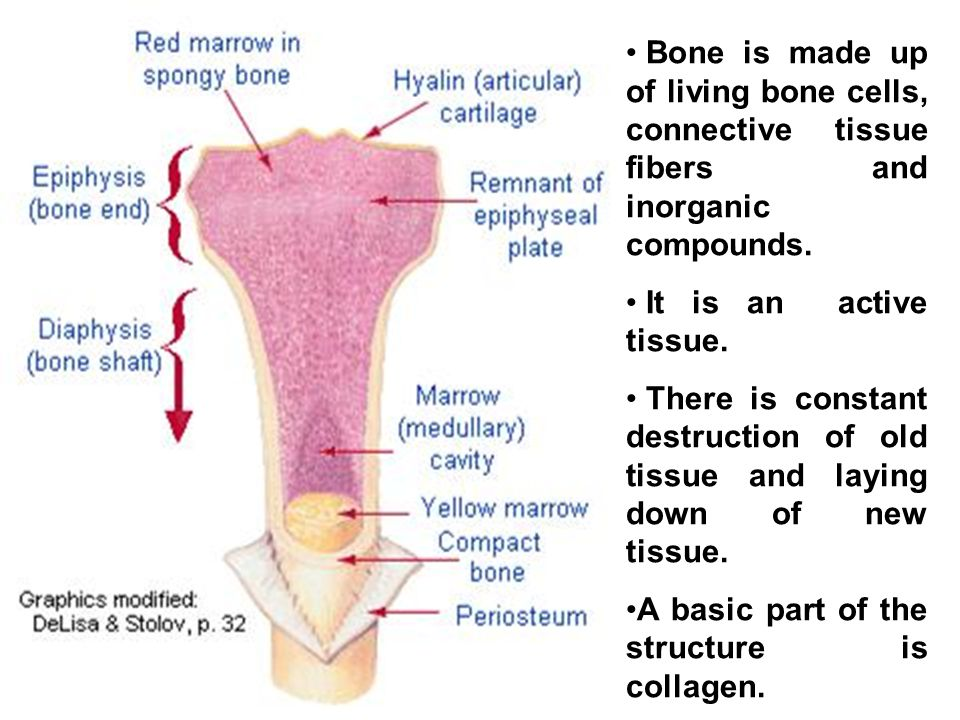 Bone is made up of living bone cells, connective tissue fibers and inorganic compounds.