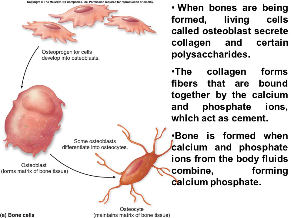 When bones are being formed, living cells called osteoblast secrete collagen and certain polysaccharides.