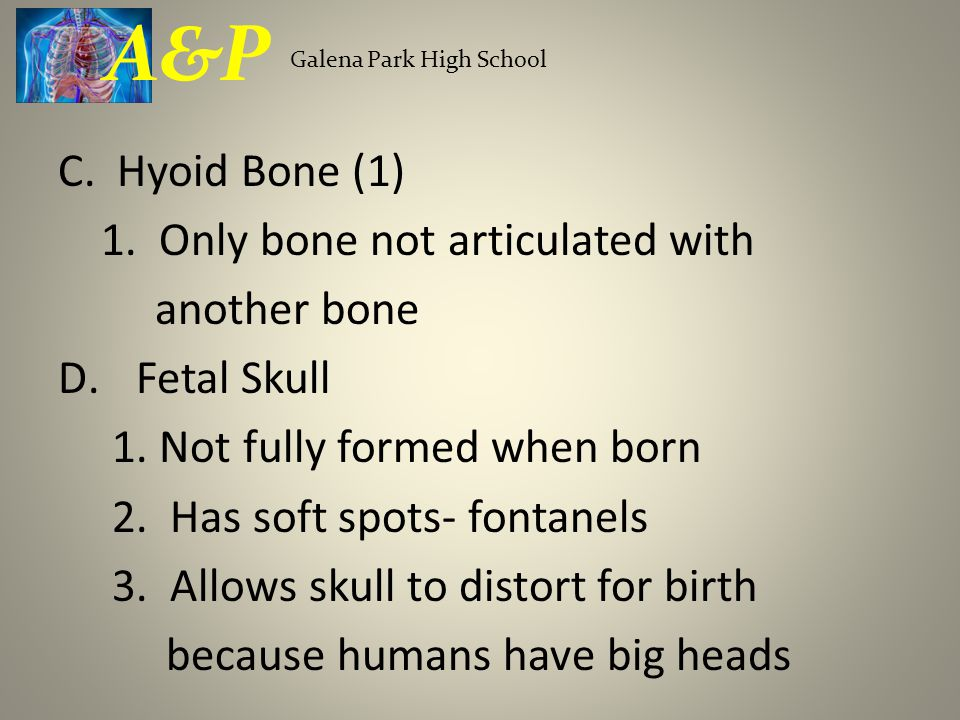 A&P C. Hyoid Bone (1) 1. Only bone not articulated with another bone