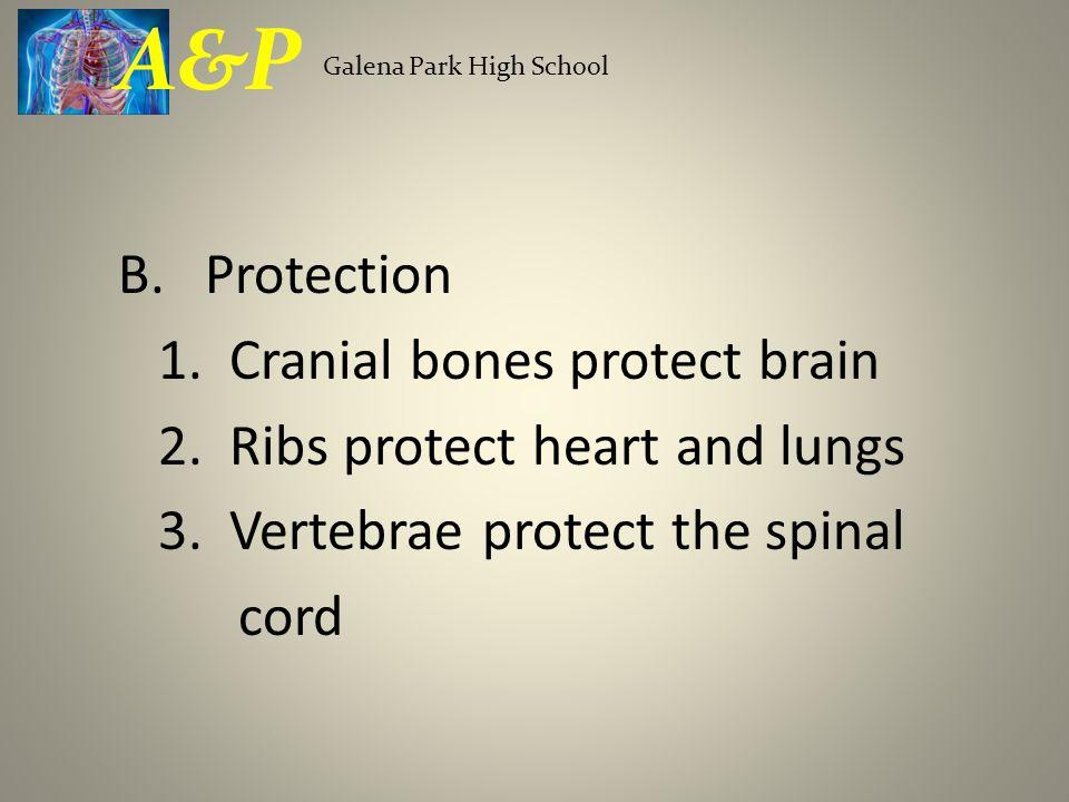 A&P Protection 1. Cranial bones protect brain