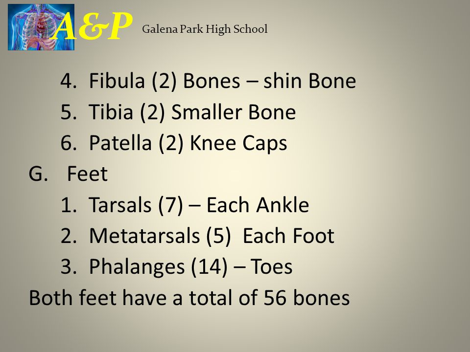 A&P 4. Fibula (2) Bones – shin Bone 5. Tibia (2) Smaller Bone