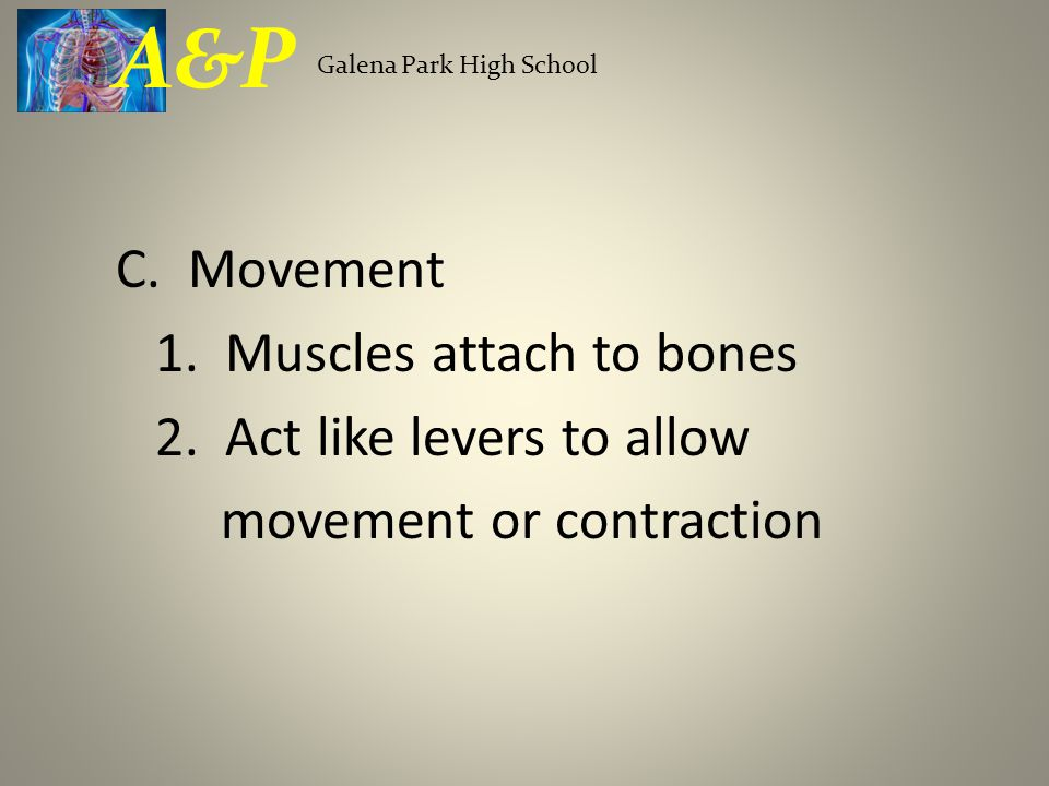 A&P C. Movement 1. Muscles attach to bones 2. Act like levers to allow