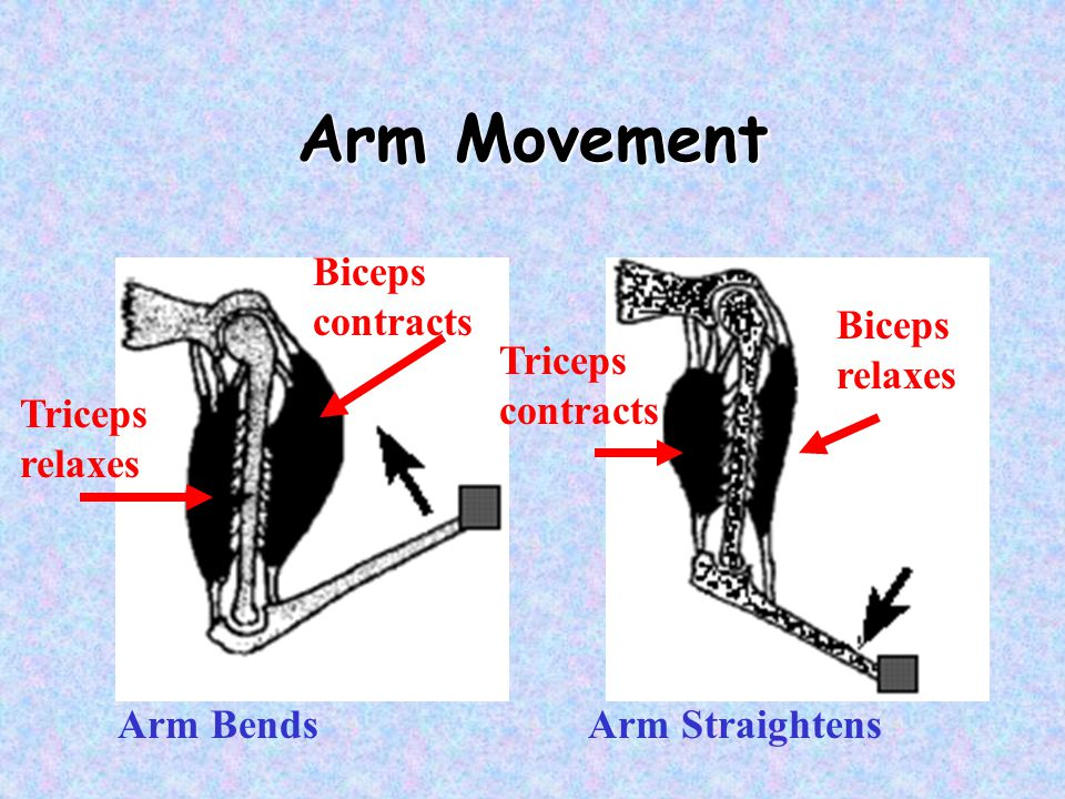 Arm Movement Biceps contracts Triceps relaxes Biceps relaxes