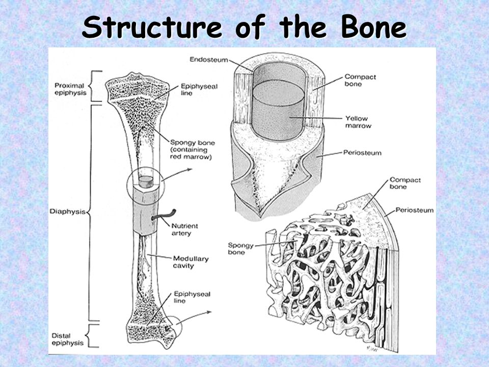 Structure of the Bone
