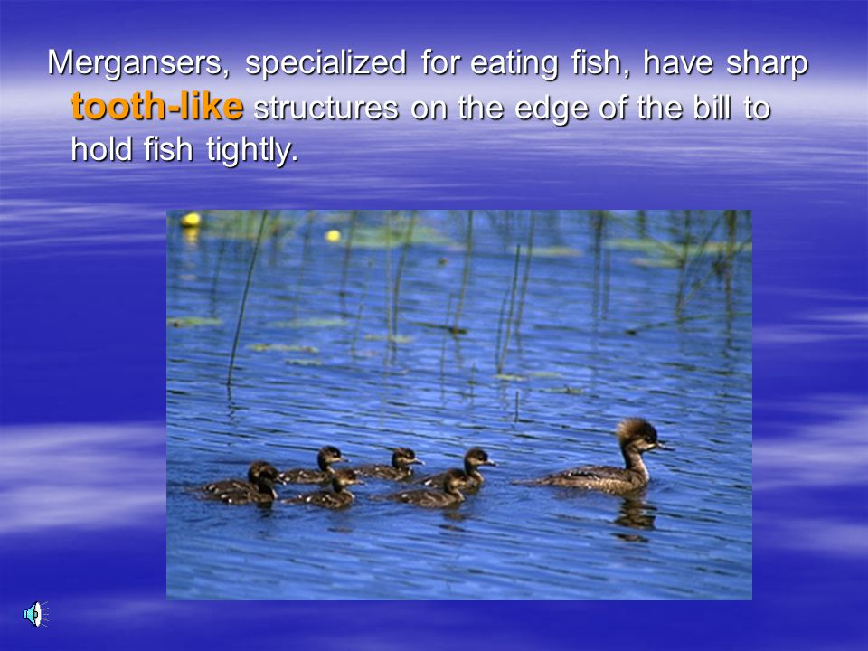 Mergansers, specialized for eating fish, have sharp tooth-like structures on the edge of the bill to hold fish tightly.