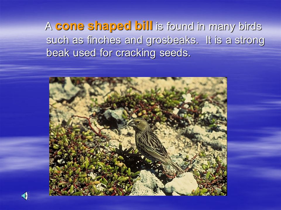 A cone shaped bill is found in many birds such as finches and grosbeaks.