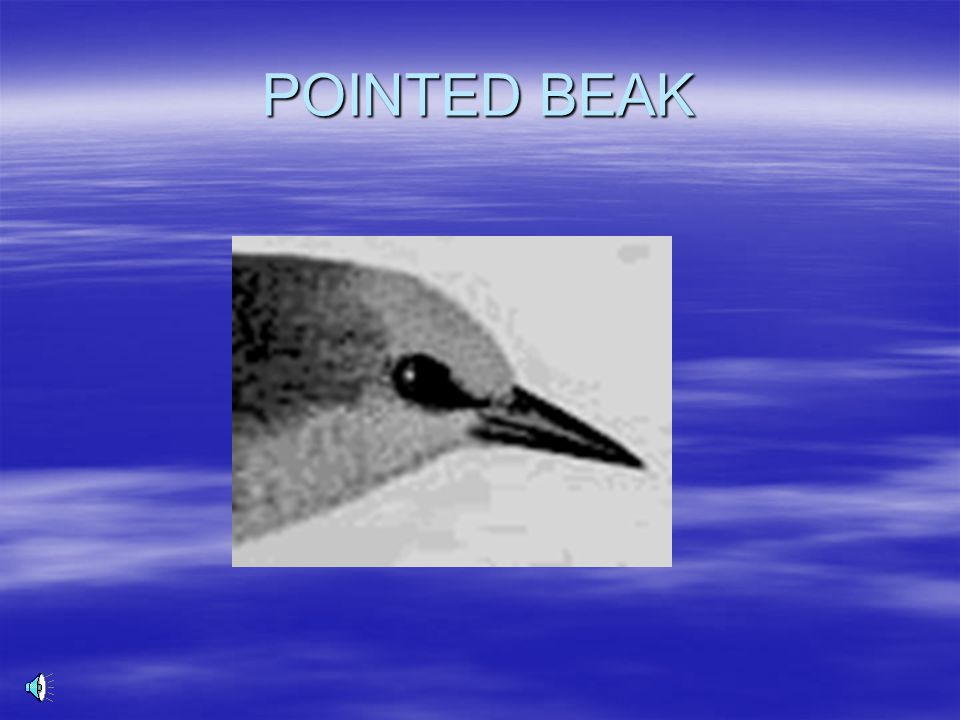 POINTED BEAK