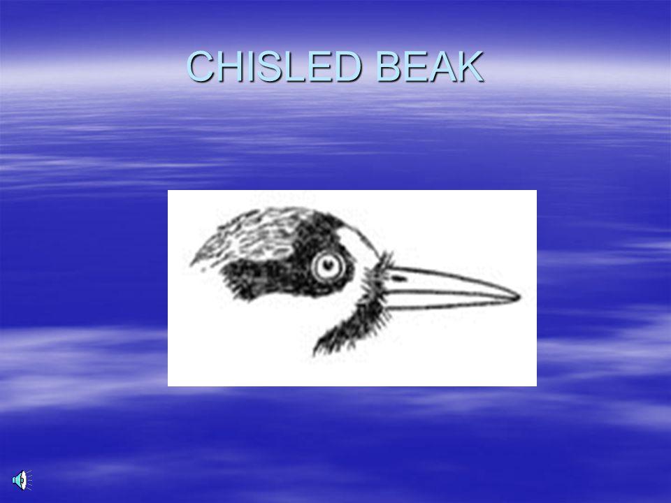 CHISLED BEAK
