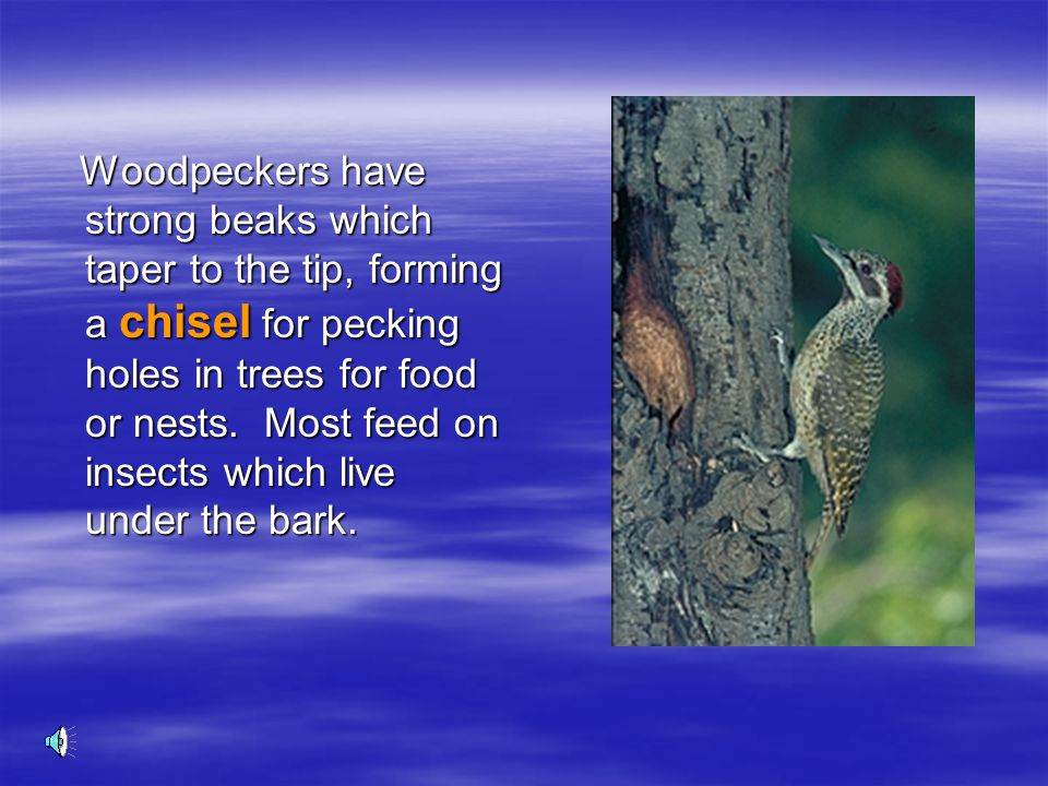 Woodpeckers have strong beaks which taper to the tip, forming a chisel for pecking holes in trees for food or nests.