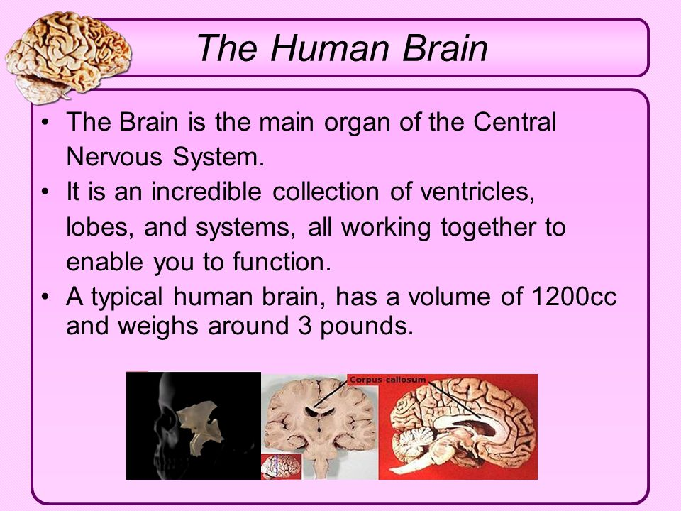 The Human Brain The Brain is the main organ of the Central