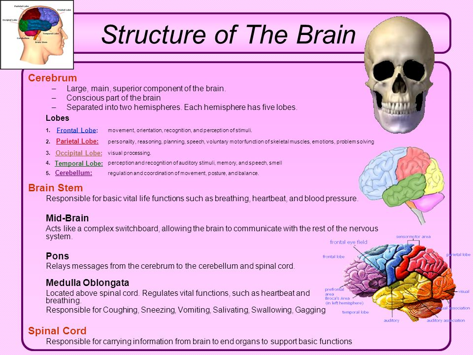 Structure of The Brain Cerebrum Brain Stem Spinal Cord