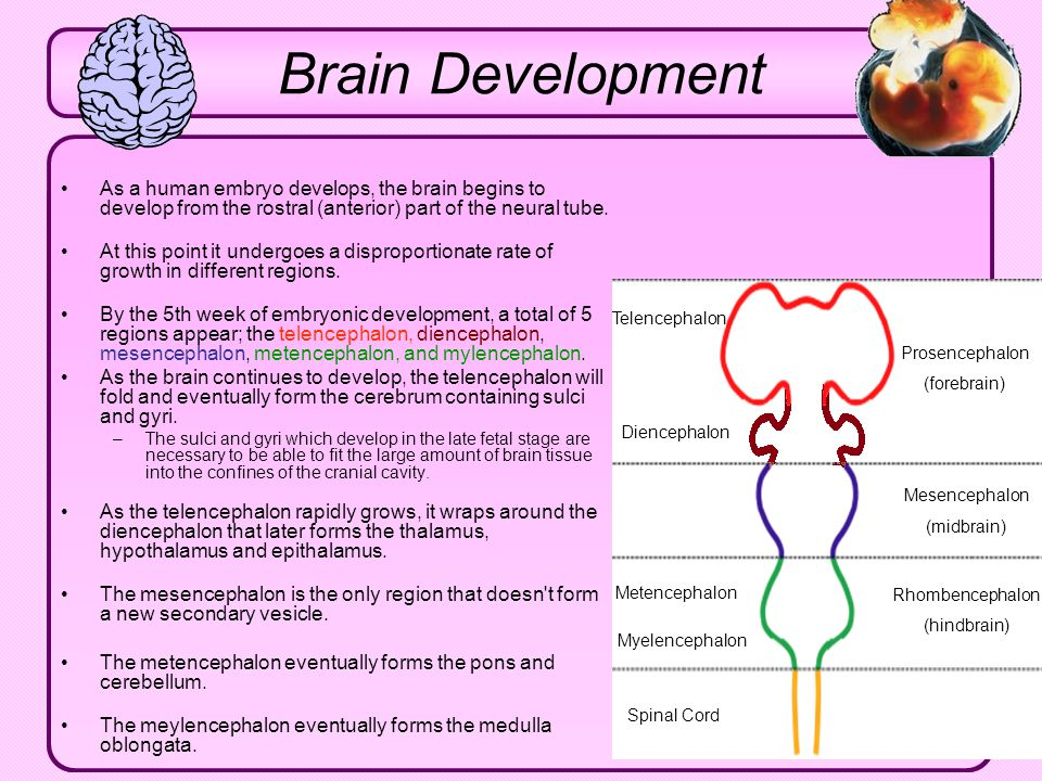 Brain Development As a human embryo develops, the brain begins to develop from the rostral (anterior) part of the neural tube.