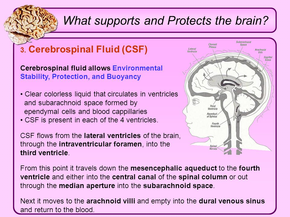 What supports and Protects the brain