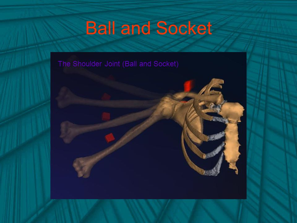 Ball and Socket The Shoulder Joint (Ball and Socket)