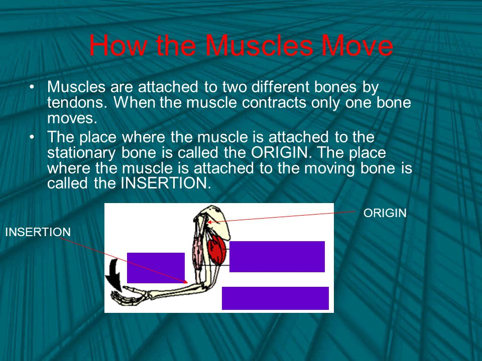 How the Muscles Move Muscles are attached to two different bones by tendons. When the muscle contracts only one bone moves.