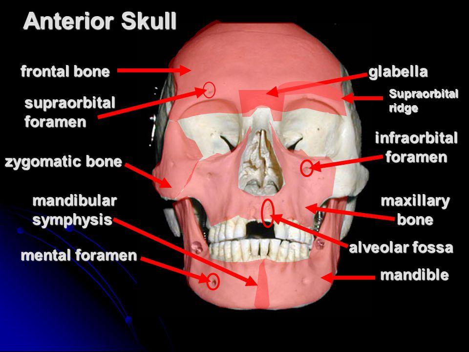 Anterior Skull frontal bone glabella supraorbital foramen