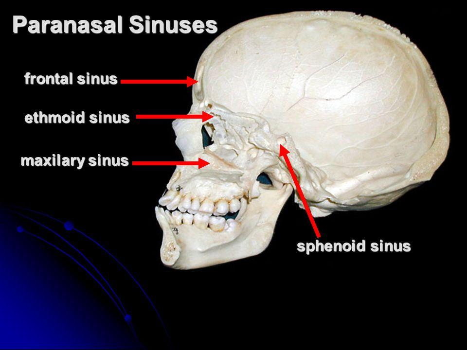 Paranasal Sinuses frontal sinus ethmoid sinus maxilary sinus