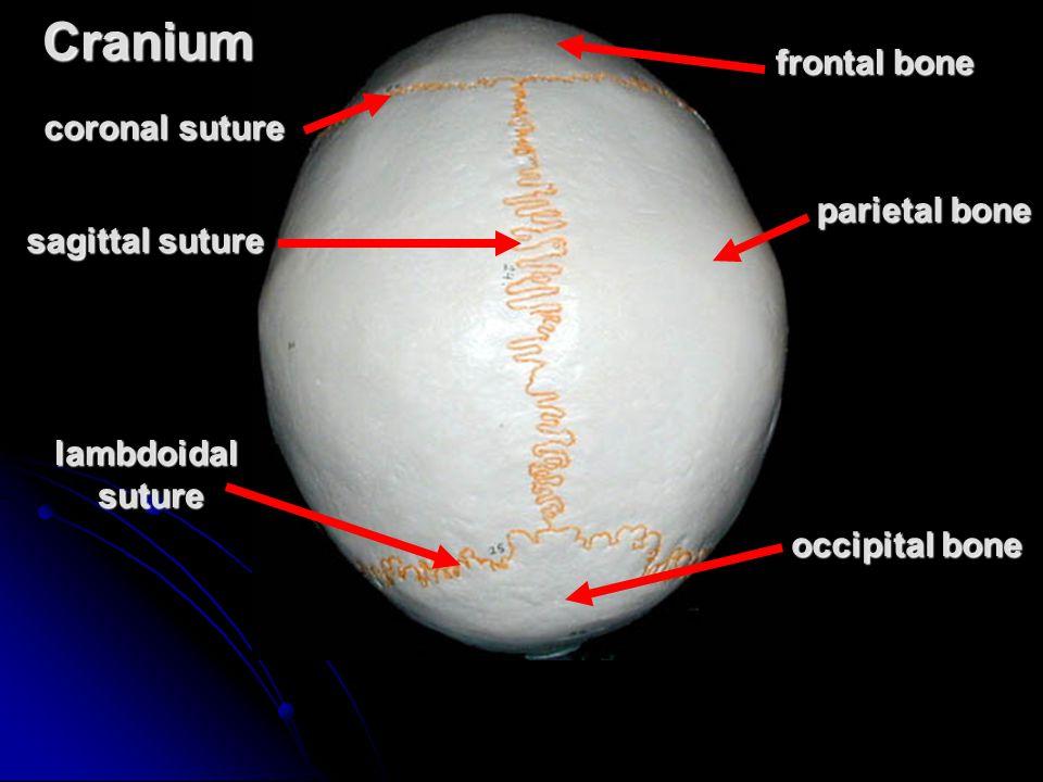 Cranium frontal bone coronal suture parietal bone sagittal suture