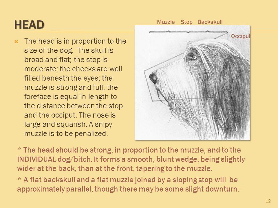 HEAD Muzzle. Stop. Backskull. Occiput.