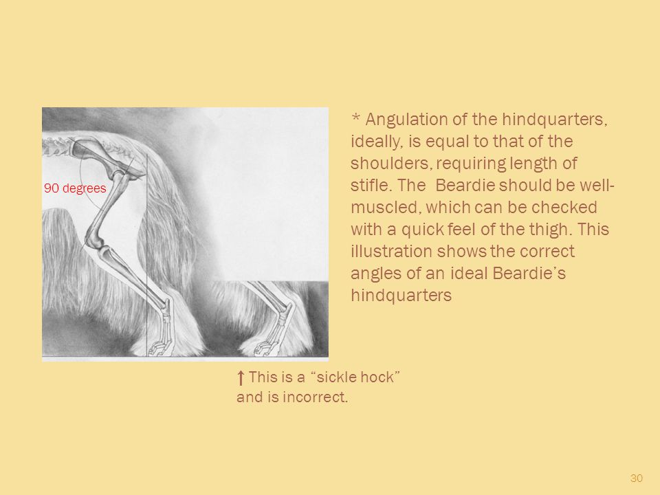 * Angulation of the hindquarters, ideally, is equal to that of the shoulders, requiring length of stifle. The Beardie should be well-muscled, which can be checked with a quick feel of the thigh. This illustration shows the correct angles of an ideal Beardie's hindquarters