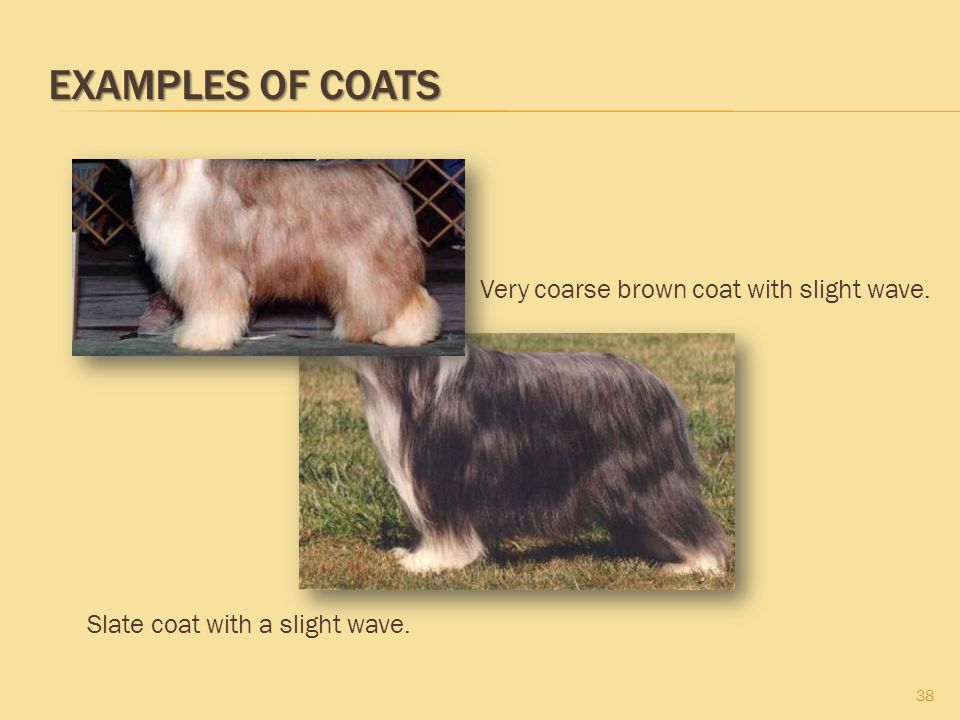 Examples of Coats Very coarse brown coat with slight wave.