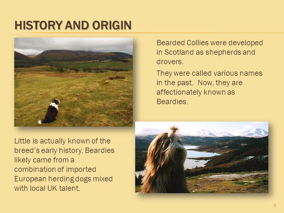 History and Origin Bearded Collies were developed in Scotland as shepherds and drovers.