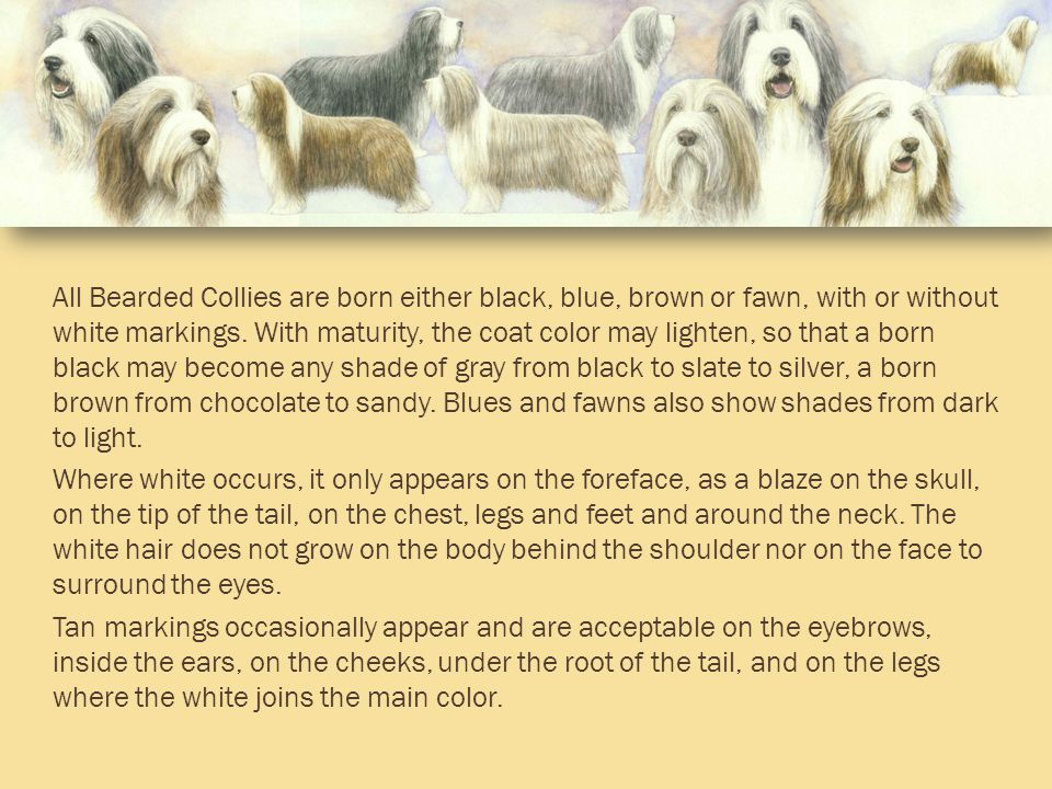 All Bearded Collies are born either black, blue, brown or fawn, with or without white markings.
