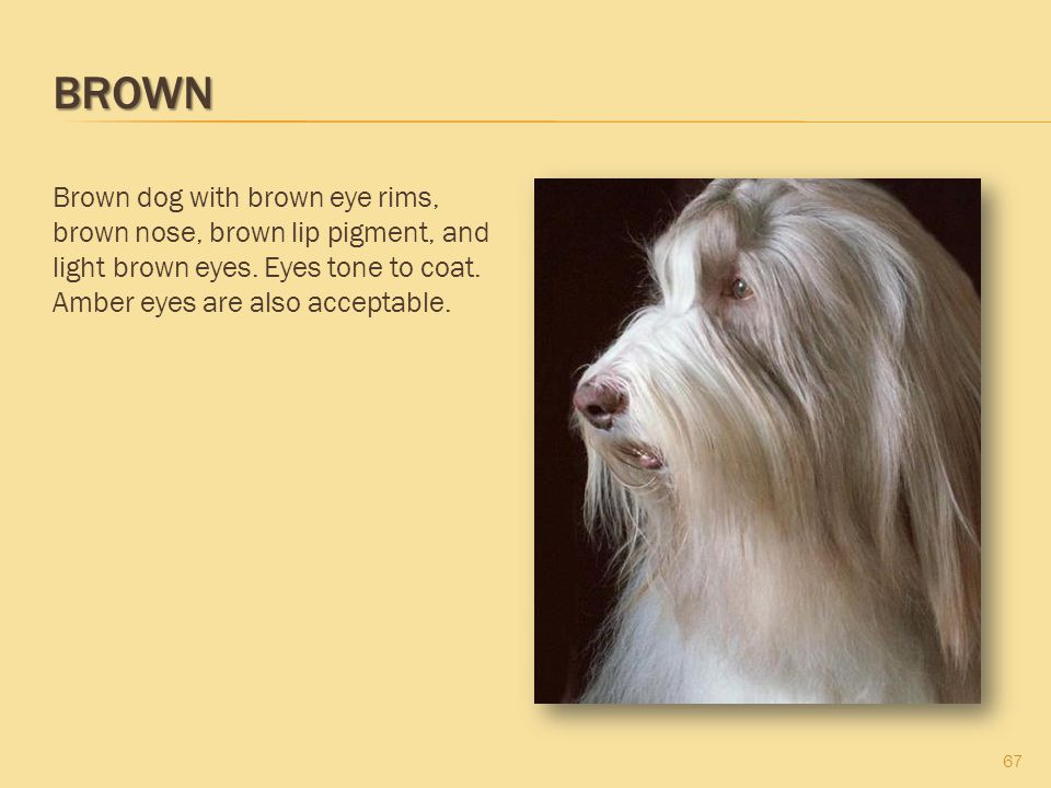 Brown Brown dog with brown eye rims, brown nose, brown lip pigment, and light brown eyes.