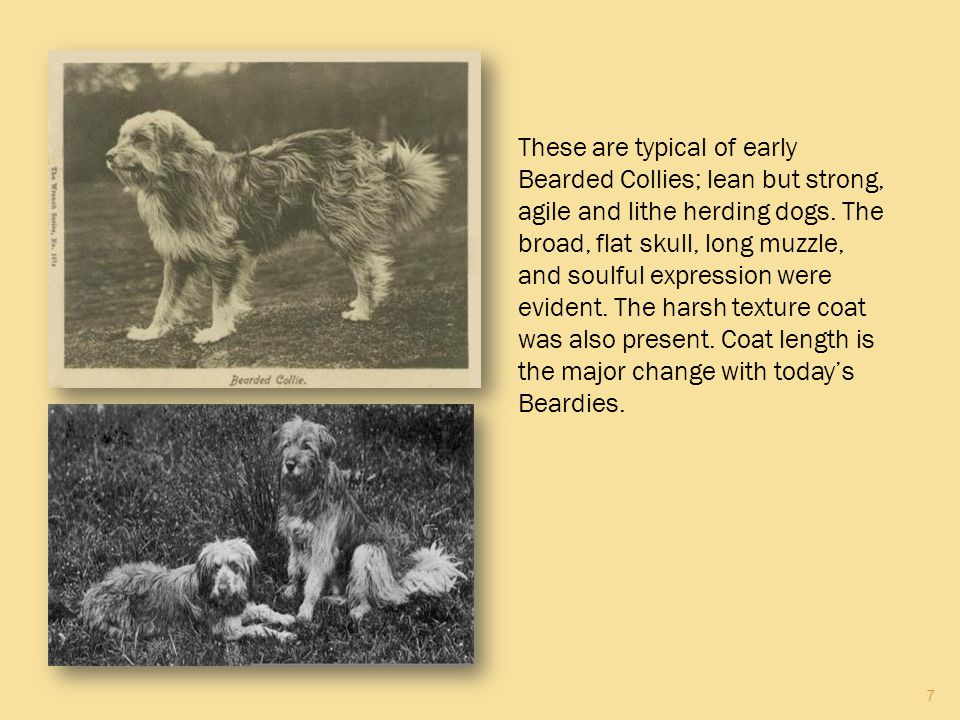 These are typical of early Bearded Collies; lean but strong, agile and lithe herding dogs.