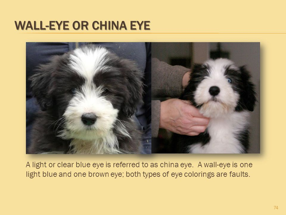 Wall-Eye or China Eye These puppies have one blue eye (wall-eye or china eye) and one brown eye. These are unacceptable.