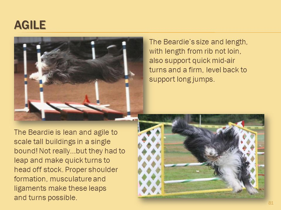 Agile The Beardie's size and length, with length from rib not loin, also support quick mid-air turns and a firm, level back to support long jumps.