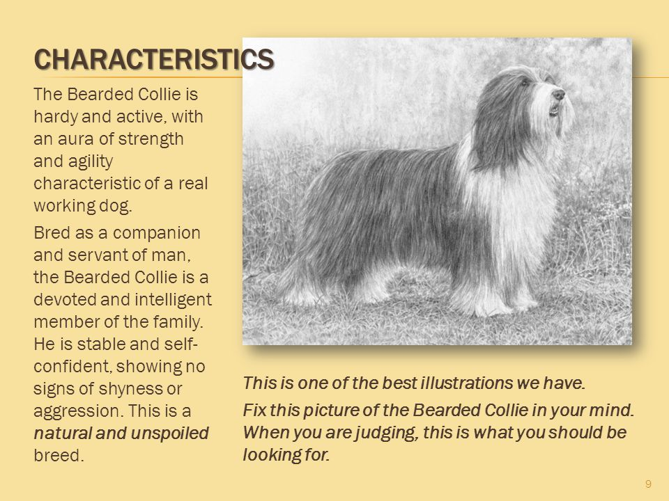 Characteristics The Bearded Collie is hardy and active, with an aura of strength and agility characteristic of a real working dog.