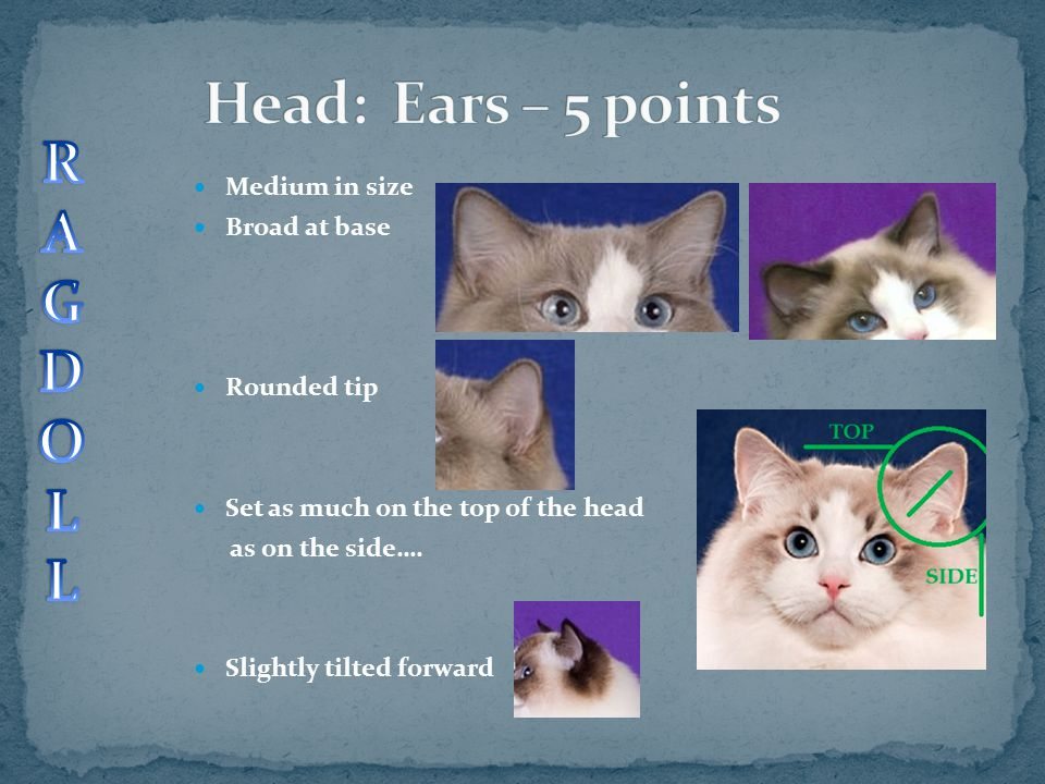 Head: Ears – 5 points R A G D O L Medium in size Broad at base