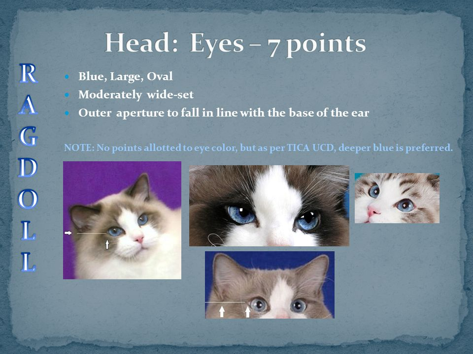 Head: Eyes – 7 points R A G D O L Blue, Large, Oval