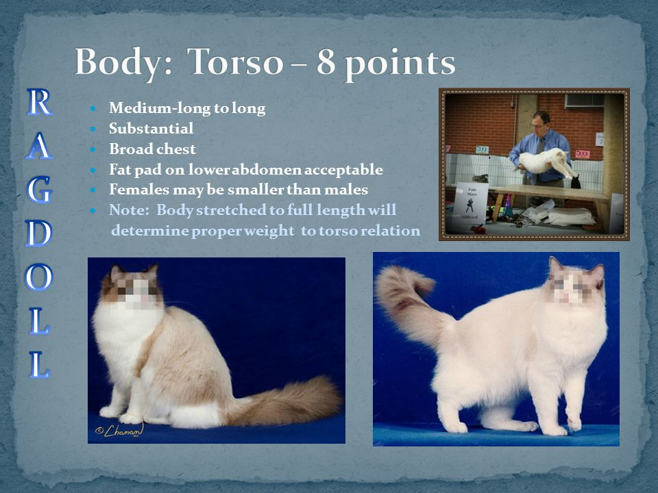 Body: Torso – 8 points R A G D O L Medium-long to long Substantial