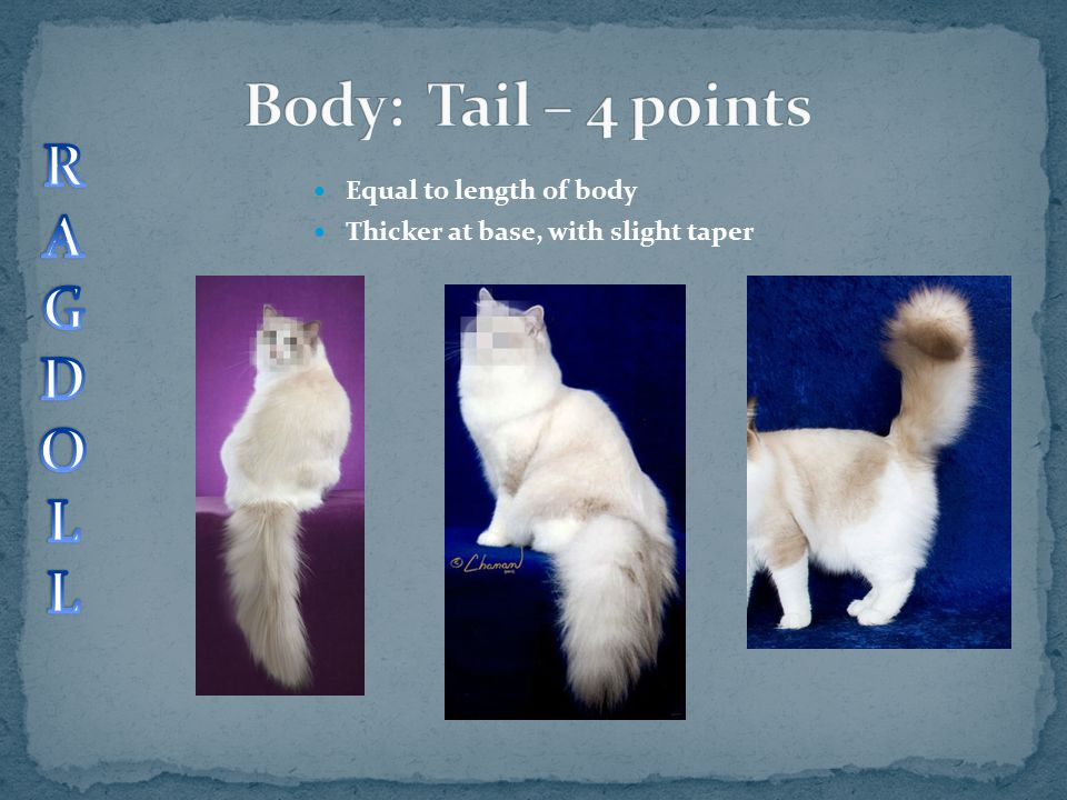 Body: Tail – 4 points R A G D O L Equal to length of body
