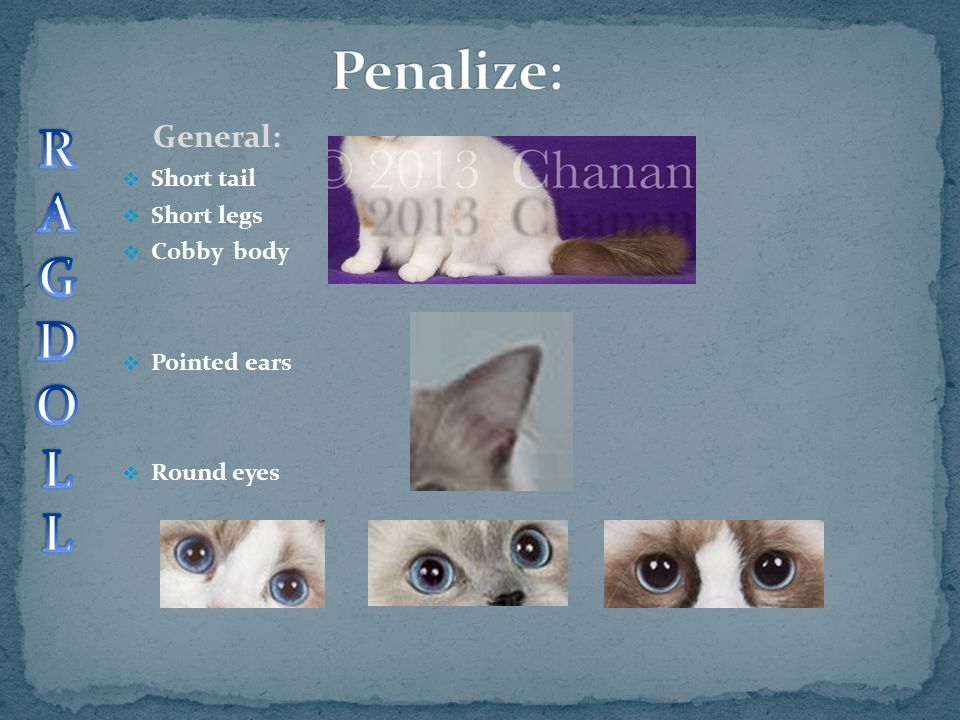 Penalize: R A G D O L General: Short tail Short legs Cobby body