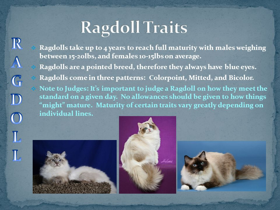 Ragdoll Traits R. A. G. D. O. L.