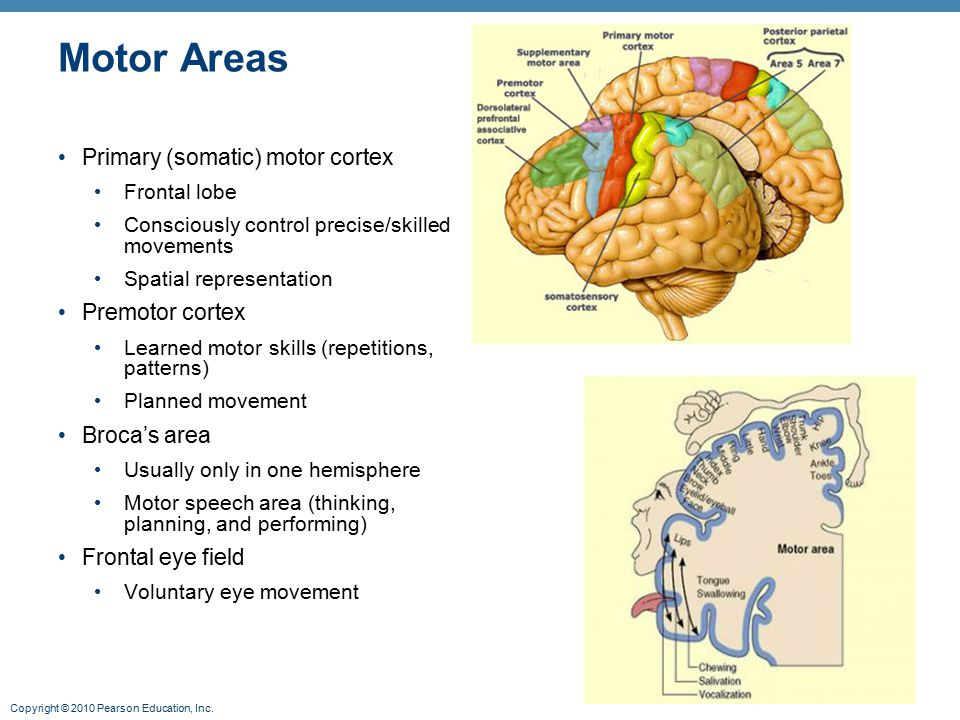 Motor Areas Primary (somatic) motor cortex Premotor cortex