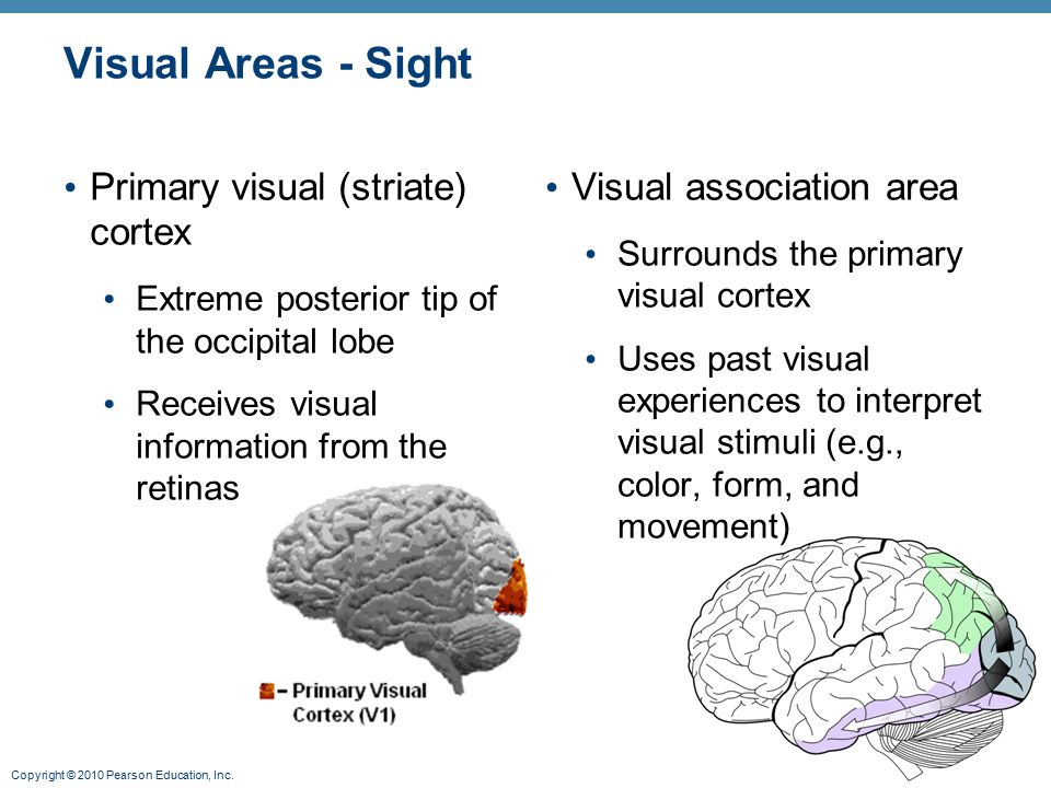 Visual Areas - Sight Primary visual (striate) cortex