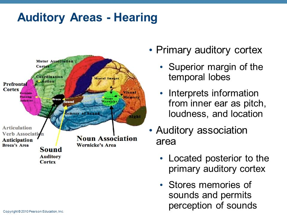Auditory Areas - Hearing