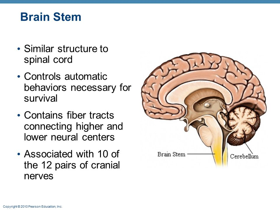 Brain Stem Similar structure to spinal cord